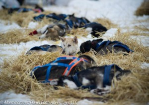 Dogs resting at the Mile 101 Checkpoint. Photo by Albert Marquez/Planet Earth Adventures, LLC