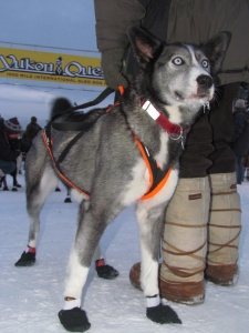 Dyan Bergan's lead dog at the finish in Fairbanks, 2013. [Eric Vercammen/Northern Light Media]