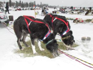 Two dogs at Rainy Pass, 2012 Iditarod [photo by Eric Vercammen/Northern Light Media]