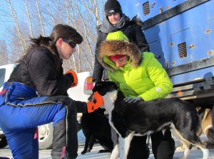 Karin Hendrickson assists a vet checking her dogs. (photo by Eric Vercammen/Northern Light Media)