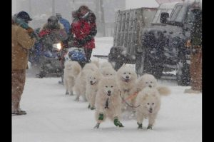 Musher Don Duncan's team of purebred Samoyeds. [Photo by Helen Hegener/Northern Light Media]