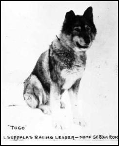 """Togo"" L. Seppala's Racing leader - Nome Serum Run"